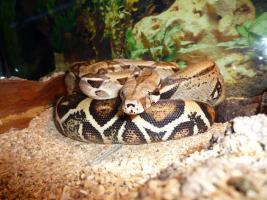 Foto 3 Boa Constrictor