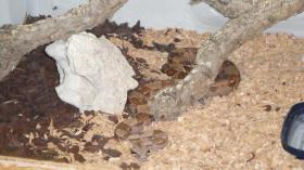 Boa Constrictor Imperator mit Terrarium