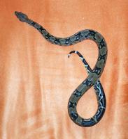 Foto 6 Boa Constrictor Imperator Zuchtpaare - REINRASSIG