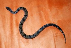 Foto 7 Boa Constrictor Imperator Zuchtpaare - REINRASSIG