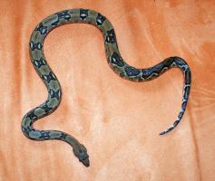 Foto 8 Boa Constrictor Imperator Zuchtpaare - REINRASSIG