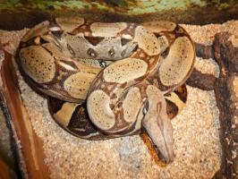 Foto 3 Boa constrictor constrictor dringend abzugeben!!!