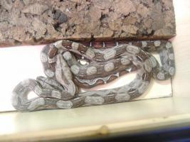 Foto 2 Boa constrictor imperator DNZ 2011