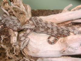 Foto 3 Boa constrictor imperator DNZ 2011