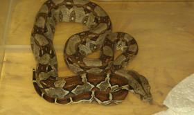 Foto 2 Boa constrictor imperator babies von 3/12 abzugeben