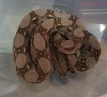 Foto 5 Boa constrictor imperator babies von 3/12 abzugeben
