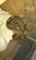 Foto 6 Boa constrictor imperator babies von 3/12 abzugeben