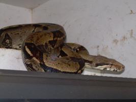 Boa constrictor imperator (kolumbien) , abgottschlange