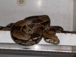 Foto 2 Boa constrictor imperator (kolumbien) , abgottschlange