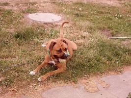 Foto 2 Boerboel-American Bulldog-Mix
