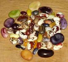 Bohnen-Saatgut von historischen und seltenen Sorten