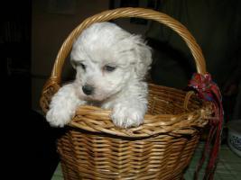 Foto 3 Bolognese Hund