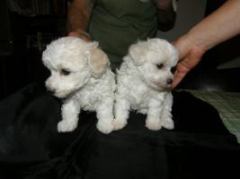 Foto 4 Bolognese Hund