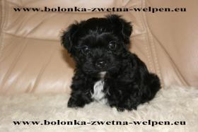 Foto 3 Bolonka Zwetna Welpen