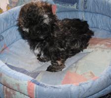 Foto 3 Bolonka Zwetna Welpen vom Fledermausturm, kleine Familienhunde
