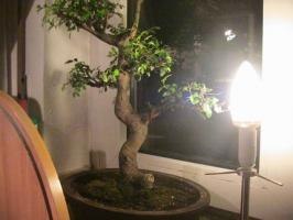 Bonsai Ulmus Parvifolia China Ulme ca:32 Jahre alt (keine S form)