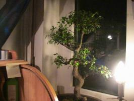 Foto 2 Bonsai Ulmus Parvifolia China Ulme ca:32 Jahre alt (keine S form)