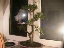 Foto 3 Bonsai Ulmus Parvifolia China Ulme ca:32 Jahre alt (keine S form)