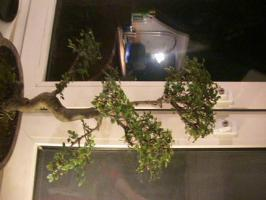 Foto 5 Bonsai Ulmus Parvifolia China Ulme ca:32 Jahre alt (keine S form)