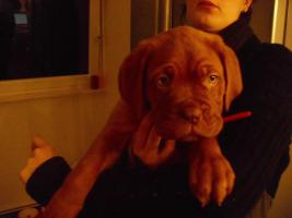 Bordeaux-dogge 10 wochen alt