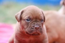 Bordeauxdoggen Welpen zu verkaufen