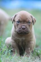Foto 5 Bordeauxdoggen Welpen zu verkaufen