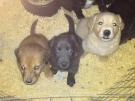 Border Collie und Golden Retriever Mix in Burgschwalbach (Welpen ...