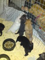 Foto 8 Border Collie und Golden Retriever Mix
