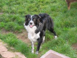 Border Collie H�ndin