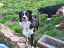 Foto 2 Border Collie H�ndin