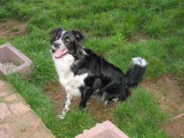 Foto 3 Border Collie H�ndin