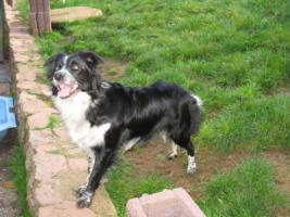Foto 4 Border Collie H�ndin