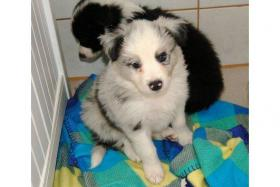 Border Collie Rüde Blue Merle