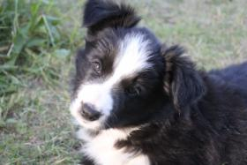Border Collie Welpe (Rüde)