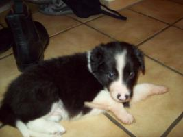 Border-Collie Welpen