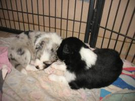 Foto 10 Border Collie Welpen