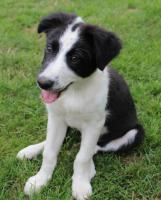 Foto 4 Border Collie Welpen