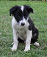 Foto 5 Border Collie Welpen