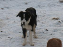 Foto 3 Border Collie Welpen