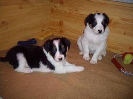 Foto 5 Border-Collie Welpen