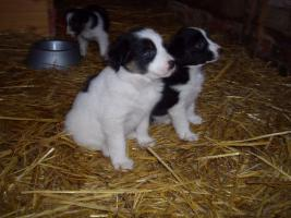 Foto 6 Border-Collie Welpen