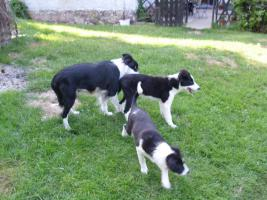 Foto 3 Border-Collie Welpen