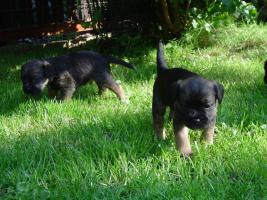 Foto 3 Border Terrier