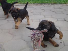 Foto 4 Border Terrier