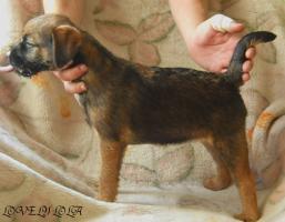 Border Terrier aus Championverpaarung
