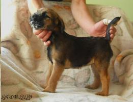 Foto 3 Border Terrier aus Championverpaarung