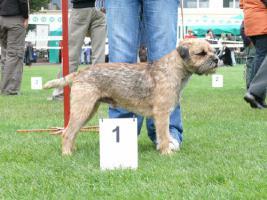 Foto 5 Border Terrier aus Championverpaarung