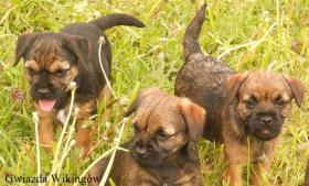 Foto 6 Border Terrier aus Championverpaarung