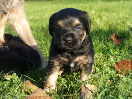 Foto 2 Border terrier