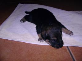 Foto 3 Bordercollie / Sch�ferhund Mischlings Welpen